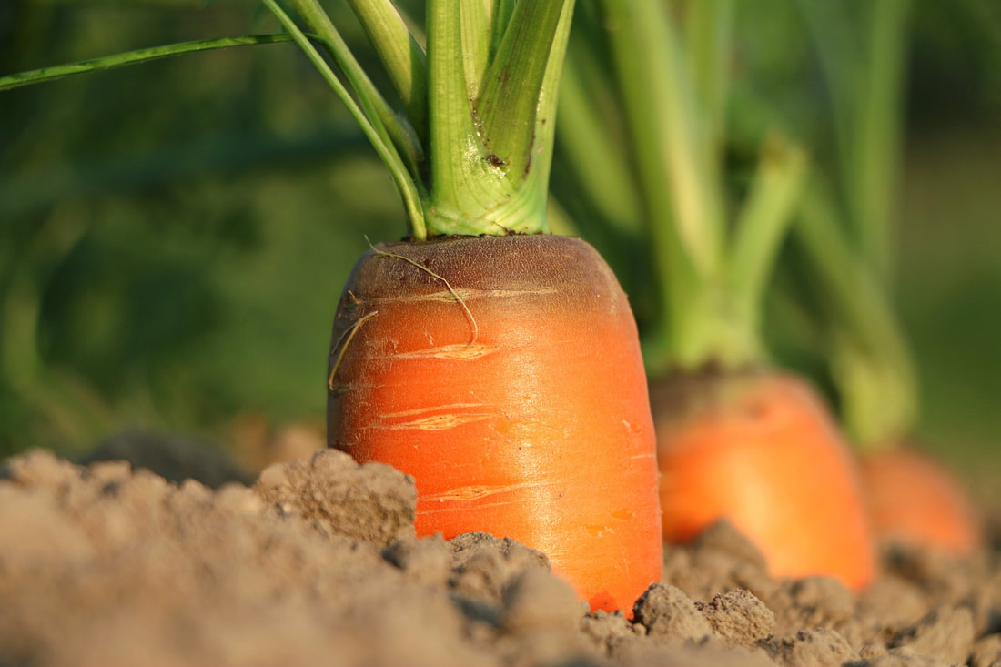 Imperator carrots come from rocky soil like this